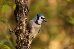 It's the blue jay laughing at us... (P & Y Photography) Tags: nature animal bird bluejay geaibleu geai jay blue bleu tree forest bokeh color canon 6d 100400