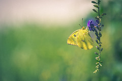 Fly Like A Butterfly (lazytinka) Tags: butterfly odc yellow purple green insect nature nectar