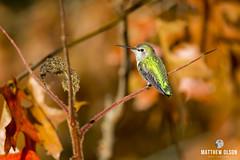 Autumn Anna (matthewolsonphoto.com) Tags: hummingbird annashummingbird orange green wildlife animal outdoor beautiful bird birdwatching autumn fall