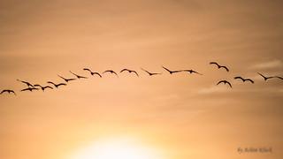 Kraniche auf dem Flug zu ihren Schlafplätzen - flying crane