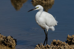 Little Egret (Simon Stobart (Just back from vacation)) Tags: little egret rocks water wading
