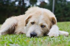 Cachorro (Marina Lorenzetto) Tags: dog dogs blueeyes blue cachorro pet nikon nikond600 sitio brasil brazil saopaulo mairipora viralata srd