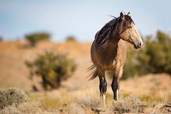 Feeling the Breeze (jeff_a_goldberg) Tags: utah sanrafaelswell wildlife nature mustangs horses horse stallion mustang greenriver unitedstates us