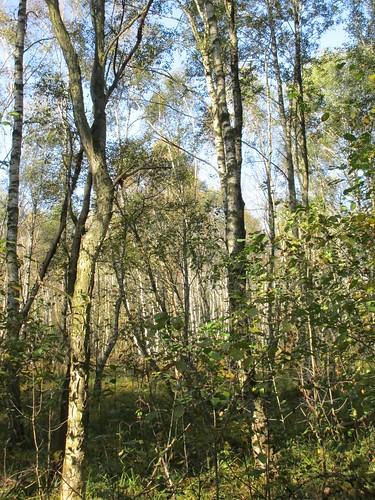Moor-Birken, Ostufer Steinhuder Meer , NGIDn1015108244