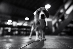 dog vision mode (polo.d) Tags: dog blur noir view floor animal black white beagle puppy
