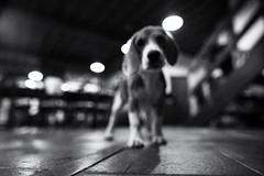 dog vision mode (polo.d) Tags: dog blur noir view floor animal black white beagle puppy