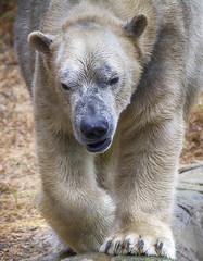 My what big paws you have (ucumari photography) Tags: ucumariphotography anana nikita polarbear ursusmaritimus oso bear animal mammal nc north carolina zoo osopolar ourspolaire oursblanc eisbr sbjrn orsopolare  november 2016 dsc8968 specanimal