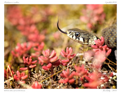 Couleuvre  collier (BerColly) Tags: france auvergne puydedome serpent snake bercolly google flickr