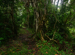 Path in the rainforest (supersky77) Tags: kibale kibalenationalpark kibaleforestnationalpark uganda farica rainforest tropical tropicale forestapluviale path sentiero green verde