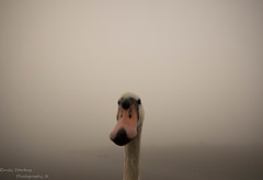 Hello.. (Emily Starbug Photography) Tags: mute swan thick fog river bure canon7dmarkii canon100400mm canon14xiiconverter emilystarbug