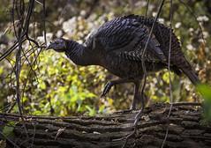 Wild Turkey - Palmyra Cove Nature Park (redforester) Tags: anthonycedrone turkey bird wood nature palmyra southernnewjersey outdoors fall beak thanksgiving