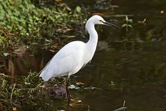 Egretta thula (Kevin Girouard) Tags: egret egrets snowyegret wadingbirds bird birds birdshare wakodahatchee