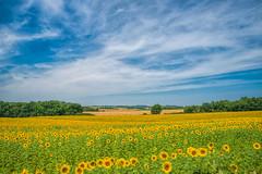 El Mismo Sol (marypink) Tags: flowers summer sky france clouds landscape nuvole estate campagna cielo sunflowers fields 16 provence fiori nikkor francia paesaggio provenza girasoli 240700mmf28 nikond800
