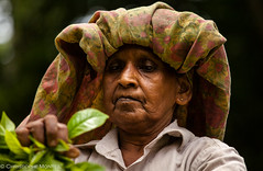 tea pickers Galle (christophe monteil) Tags: voyage travel woman women tea indianocean srilanka galle jaffna trincomalee teaplantation batticaloa sigiriya tamoul tamils oceanindien teapickers monteil tamouls christophemonteil chrismonteil poquitochris teapickersgalle