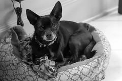 Meeko (SRivera) Tags: blackandwhite dog chihuahua flickr meeko canoneos7d canonef100mmf28lmacroisusm