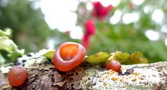 lichen the fungus... (Kaos2) Tags: wood autumn macro fall oak bokeh outdoor depthoffield bark fungus lichen lichens kaos2 foliose cupfungus ascocorynecylichnium