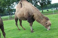 Josephine (excellentzebu1050) Tags: animal animals closeup outdoor farm camel animalportraits oudoors camelus camelusbactrianus coth5 sept2015shootcowsheifers