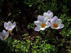 Crochi (giorgiorodano46) Tags: fiori marzo terrazzodicasa