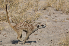 Running_Meerkat copy (Beverly Houwing) Tags: africa morning danger meerkat wildlife run botswana colony forage suricate saltpan kalaharidesert makgadikgadipans