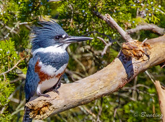 Female Belted Kingfisher along Canary Creek (stevebfotos) Tags: nature birds fauna telephoto kingfisher hdr lewes shorebird photomatix canarycreek