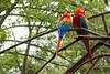 Guacamayos (jodaarba) Tags: travel color azul brasil rojo colores amarillo ave turismo iguazu viajar guacamayos