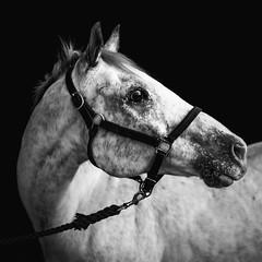 Appaloosa (Jen MacNeill) Tags: portrait horses blackandwhite bw horse square appaloosa squareformat bnw equine littledoglaughednoiret
