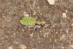Cicindela cf. campestris (Linnaeus, 1758) (Lus Gaifm) Tags: macro bug insect insecto coleoptera mindelo cicindela cicindelacampestris greentigerbeetle lusgaifm
