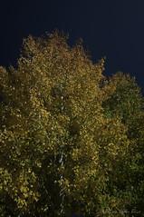 Peak Color Aspen (Laurie-B) Tags: autumn orange usa white mountain plant west tree fall leaves yellow america gold us colorado unitedstatesofamerica north central september american bark northamerica mountainside crestedbutte cottonwoods quaking livingthings angiospermae northamerican 2015 floweringplants angiosperms willowfamily vascularplants seedplants quakingaspenpopulustremuloides magnoliophytadivision magnoliopsidaclass plantaekingdom salicaceaefamily tracheobiontasubkingdom eukaryotaempire spermatophytasuperdivision dilleniidaesubclass populusgenus salicalesorder
