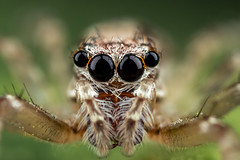 oOOo (affectatio) Tags: macro spider arachnid jumpingspider mpe65
