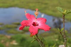 food for free (Rodrigo Alceu Dispor) Tags: two food lake flower nature water grass bug 50mm couple pair free hibiscus ladybug twice