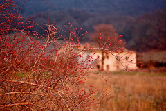 Rose Canine (RD_Elsie) Tags: tuscany toscana bastione