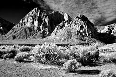 Plants and Rocks and Red Rocks Park IR (Neal3K) Tags: cactus ir desert lasvegas nevada infrared creosote kolarivisionmodifiedcamera redrocksparknv