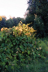 (Lesley Rivera) Tags: old summer sky color green film leaves yellow 35mm landscape bush kodak monochromatic greenery 2014