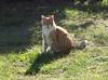 Ziggy Cat - In Yard Sunday 10-11-15 03 (anothertom) Tags: cats grass yard 2015 eatinggrass ziggycat sonyrx100ii