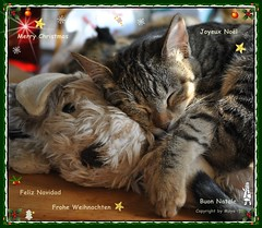 Weihnachten * Christmas * Navidad * Noël * Natale * 2015 * . DSC_2864-002 (Maya HK - On and Off) Tags: christmas weihnachten navidad flickr katze noël tigerlily natale christmascard davy 2011 nikond3000 201215 copyrightbymayawaltihk weihnachtskarte2015