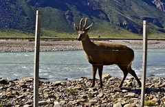 _DSC0877 Huemul. (luispedrosocak) Tags: naturaleza argentina rio agua paisaje chaltn huemul ripio