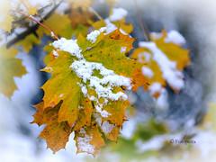 Wettstreit von Winter und Herbst (petra.foto on/off) Tags: winter herbst schnee jahreszeit bokeh blatt nature fotopetra canon 5dmarkiii