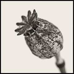 Poppy #2 (hamsiksa) Tags: plants flora seeds seedpods poppy flowers blossoms botany botanical nature studio blackwhite