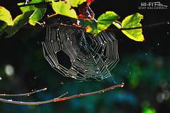 Spidey Senses Are Tingling (Hi-Fi Fotos) Tags: spider web backyard nature silk sun trap cobweb orb arachnid intricate pattern nikon d5000 hififotos hallewell bokeh