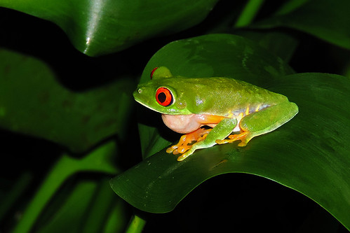 San Ignacio - Singing Red Eyes