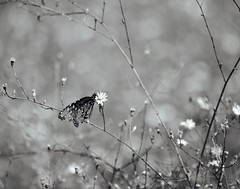 Rough around the edges. (Kreative Capture) Tags: migration monarch butterfly blackwhite wings torn tattered texas nikkor nikon d7100 blackandwhite mono outdoor