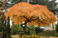 Japanese Maple (Threin Ottossen) Tags: tree orange cemetary fall autumn leaves lolland denmark nakskov nature beauty outdoor serene plant