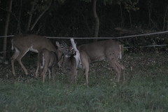 _MG_1938 (thinktank8326) Tags: deer whitetaileddeer fawn doe babyanimal babydeer