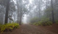 Sendero Ovejeros (I) (fotojoma) Tags: islascanarias bosquecanario tenerife senderoovejeros niebla laesperanza fotojoma