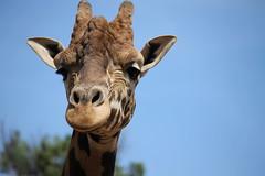 Altina Wildlife Park (federica_leveratto) Tags: giraffe primopiano australia park animal