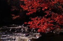 Val-David - rivière du Nord 10 (luco*) Tags: canada québec laurentides valdavid val david rivière du nord river arbre tree érable rouge red maple feuiillage automne couleurs colors flickraward flickraward5 flickrawardgallery