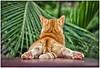 Gato Sanjuanero (San Juan Cat) (SamyColor) Tags: gato cat gatosanjuanero sanjuancat sanjuan oldsanjuan viejosanjuan puertorico color colori colorido colores colors lightroom colorefexpro4