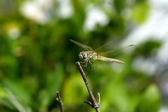 DSC_0051 (Aninha González) Tags: dragonfly libelulas natureza asas transparentes macro