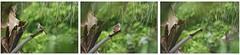 Time to go (joanethery) Tags: thailande bulbul oiseau bird green forest tree