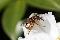 Flowerfly (Jim Atkins Sr) Tags: flowerfly hoverfly camelliasasanqua camelliasasanquasetsugekka flyinginsect fly flower newbernnc newbern northcarolina